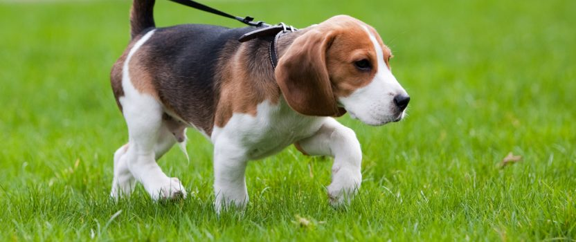 Should You Train Your Dog with a Retractable Leash?