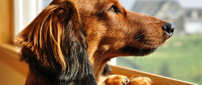 4 Dog Trainer Tips for Battling Separation Anxiety