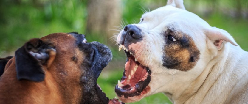 Pro Dog Trainer Tips: Breaking Up a Dog Fight